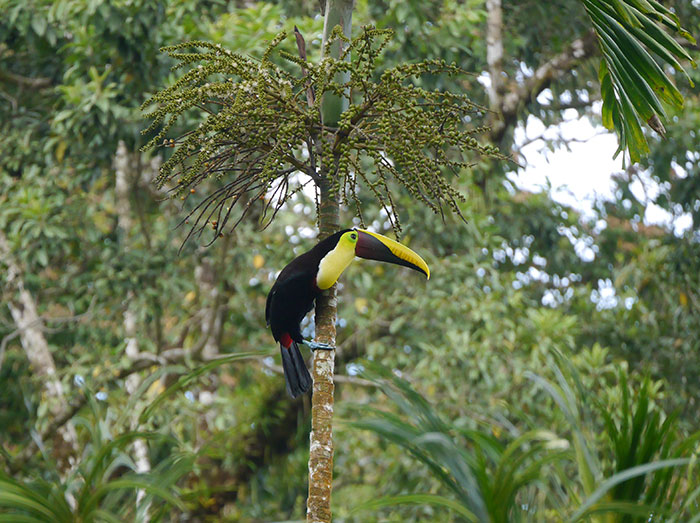 Yellow-throated toucan, Corcovado National Park, Costa Rica (image: Alexandra Cronin)