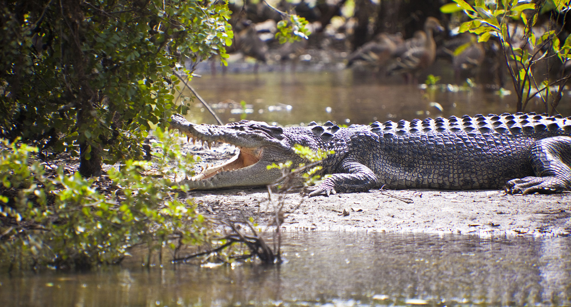 Crocodile at Kakadu National Park
