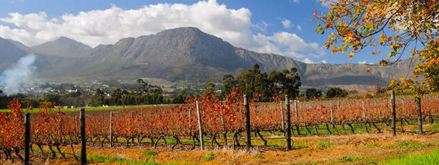 A vineyard in the Franschhoek wineland area