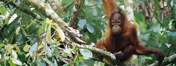 A baby orangutan in Malaysia