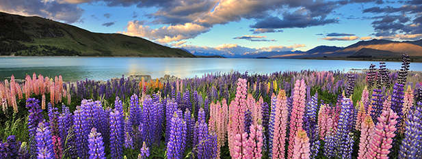 Lupins in bloom infront of Lake Tekapo
