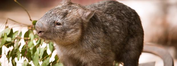 An Australian hairy nosed wombat