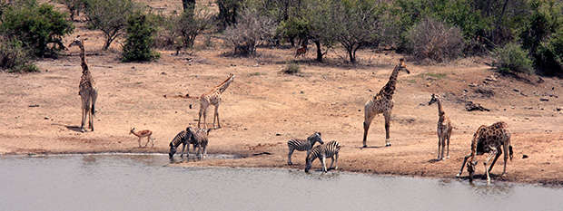 Giraffes and zebras by a water hole in Kruger National Park