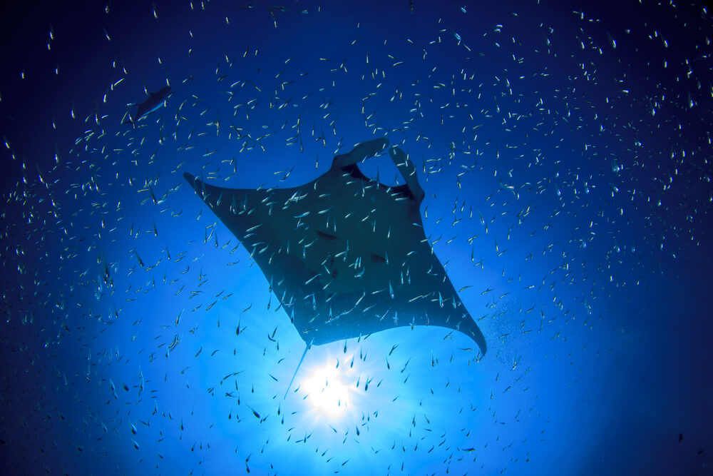 manta ray lady elliott island
