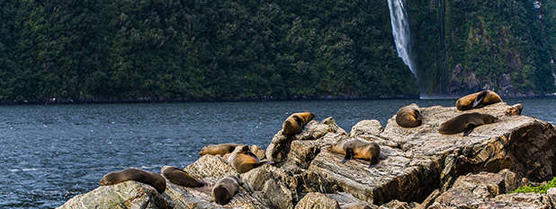 Seals on a rock infront of a waterfall in Milford Sound