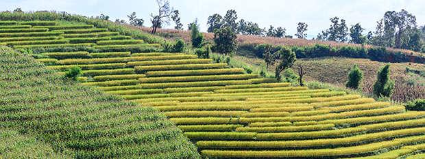 Terraced rice fields near Chiang Mai in Thailand