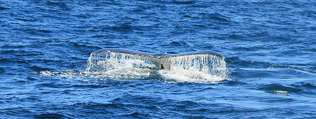 A whale tail breaching out of the water
