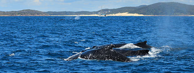 A pod of humpback whales in Port Stephens