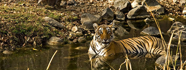 A tiger lying in water at Ranthambore National Park