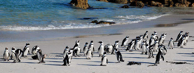 Penguins walking on Boulders Beach in Cape Town