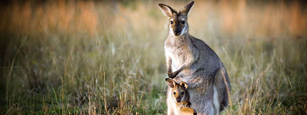 A wallaby with a baby joey in her pouch