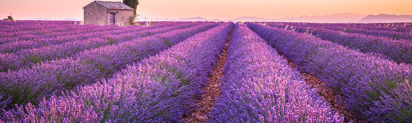 Lavender fields in France