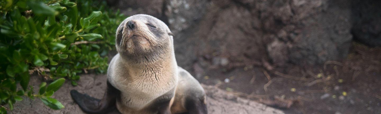 Fur seals, New Zealand wildlife