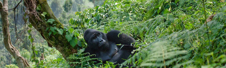 Gorilla, Uganda, Africa