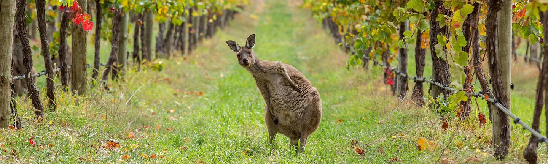 Adelaide Hills, wildlife and wine