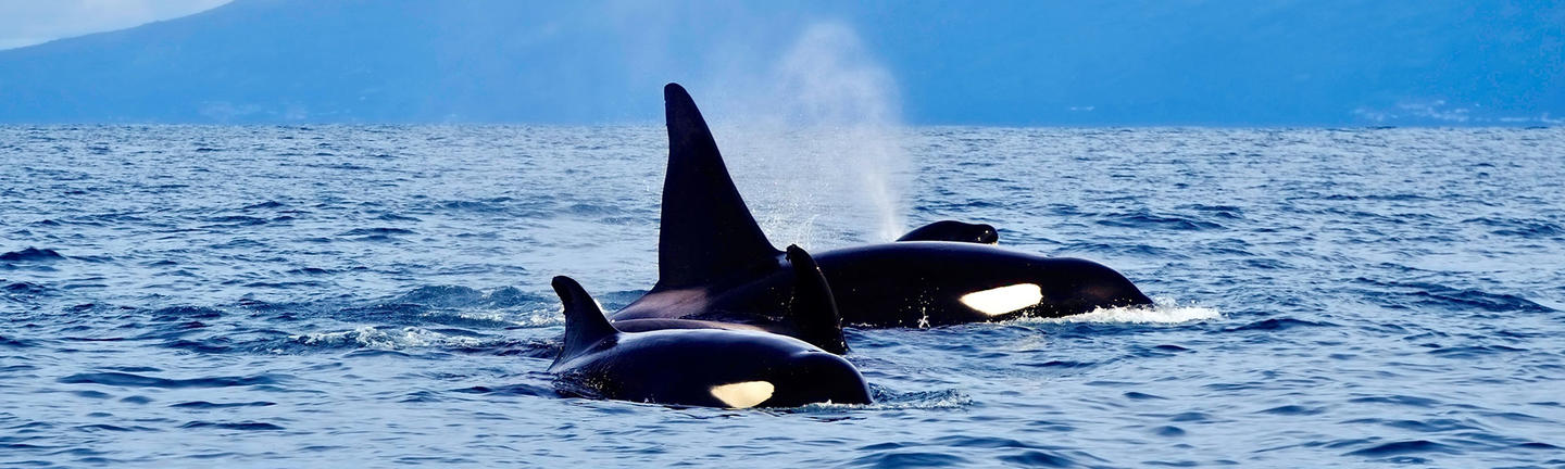Orcas in the Azores