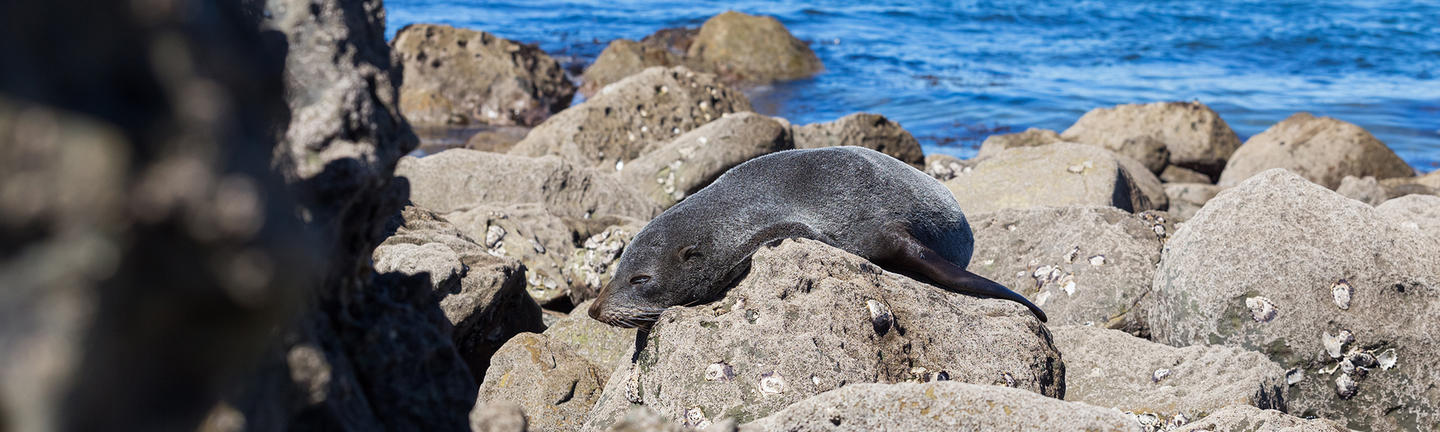 Sea lion in Auckland