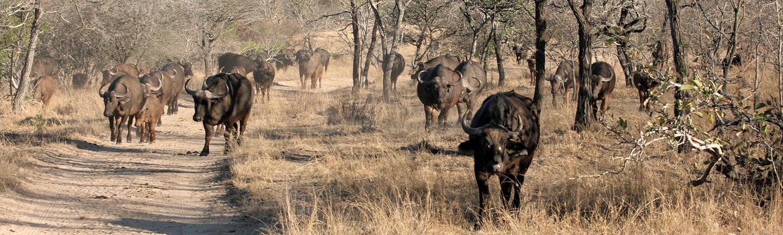 Safari at Thornybush