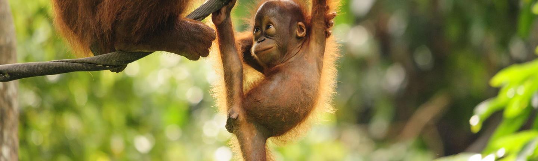A baby orangutan in Malaysia Borneo
