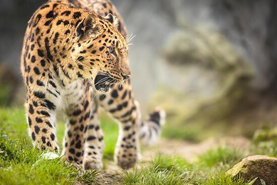 leopardos en extinción
