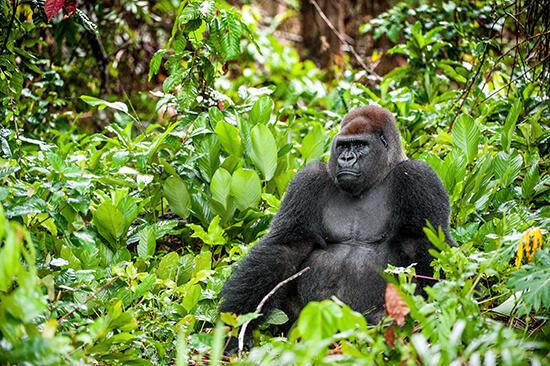 gorilas en extinción