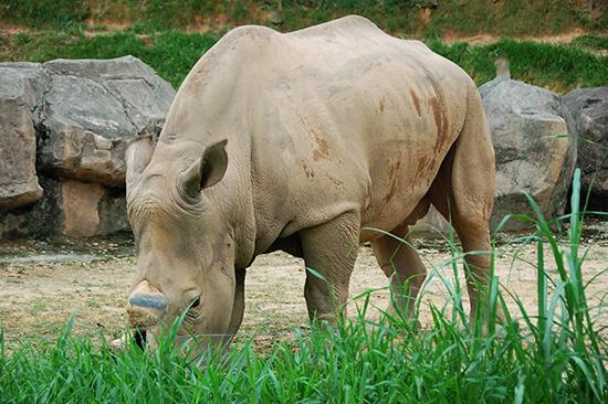 rinocerontes en extincion