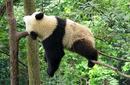 Panda Sleeping, China