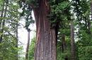 Chandelier Trees, California | by Flight Centre's Kirsten Leslie