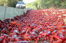 Red Crab Migration   by the Christmas Island Tourism Association © Max Orchard
