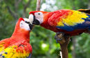 A Pair of Parrots Playing