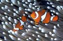 Clown Fish, near Cairns