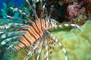 The Lion Fish