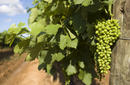 Grapes on the Vine, Hunter Valley
