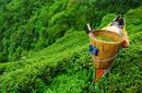 Tea Picker, Darjeeling