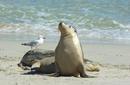 Sea Lions, Seal Bay Conservation Park