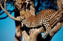 Leopard Relaxing
