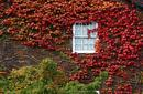 Autumn leaves covering the wall