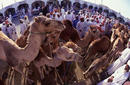 Cattle Market, Nizwa   by Sultanate of Oman Tourism