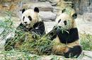 Pandas, Shanghai Zoo