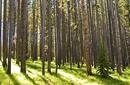 A Lodgepole Pine Forest