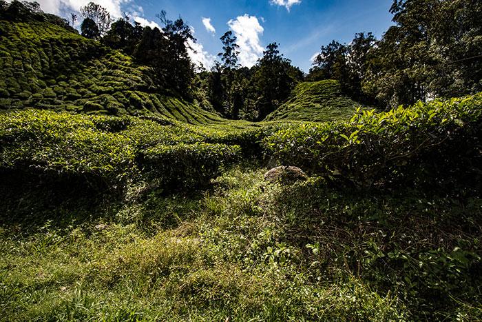 Tea plantation Malaysia Richard Collett