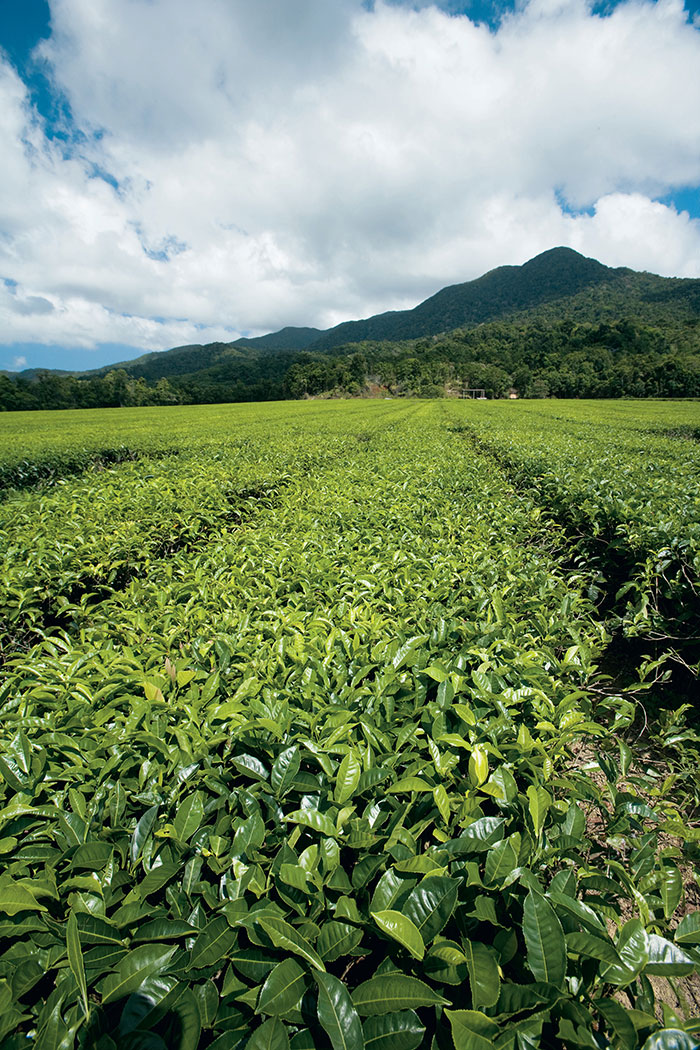 Tea plantation Queensland Rachel Lay