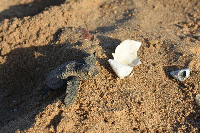 Turtle hatchling Mon Repos