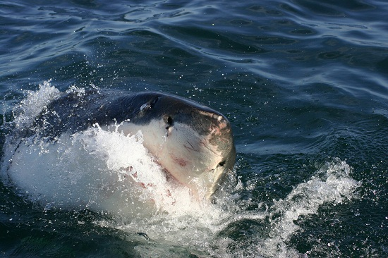 Great White shark taken off the coast of South Africa