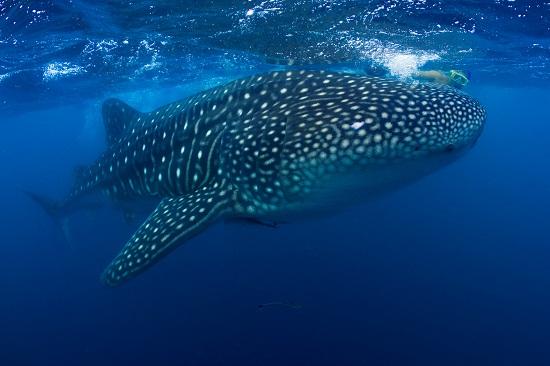 Whale Shark, Perth