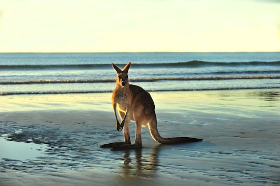 kangaroo on beach in australia