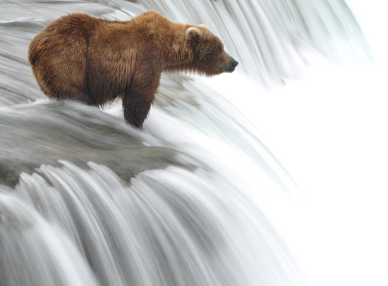 Grizzly Bear Waiting for Lunch on River in Alaska