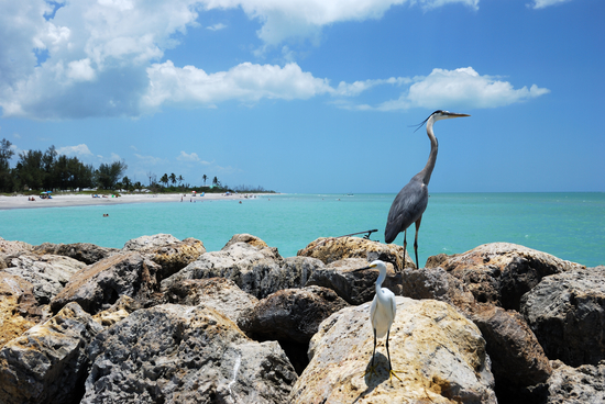 Heron Standing on Captiva Island in Florida