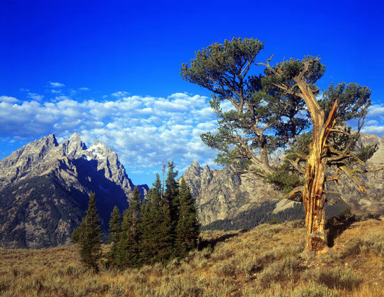 The Old Patriarch in Grand Teton National Park, Wyoming