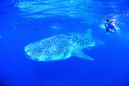 A whale shark at Ningaloo Reef